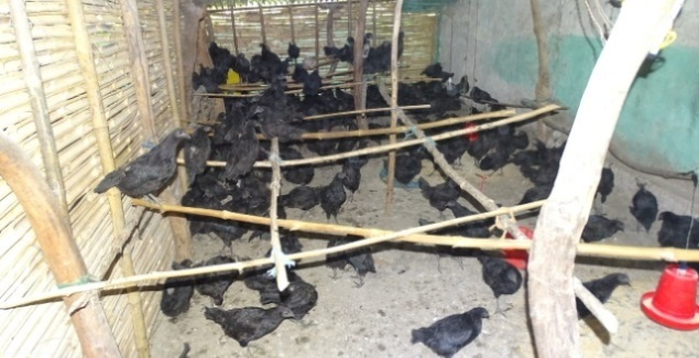 promotion of native kadaknath breed
